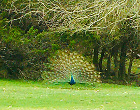 Peacock at Mayan Dude ranch