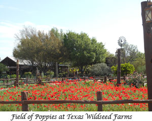 Field of Poppies at Texas Wildseed Farms
