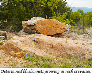 Bluebonnets growing out of the rock crevasses